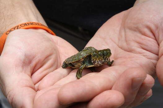 San Antonio Zoo S Two Headed Turtle Dies San Antonio