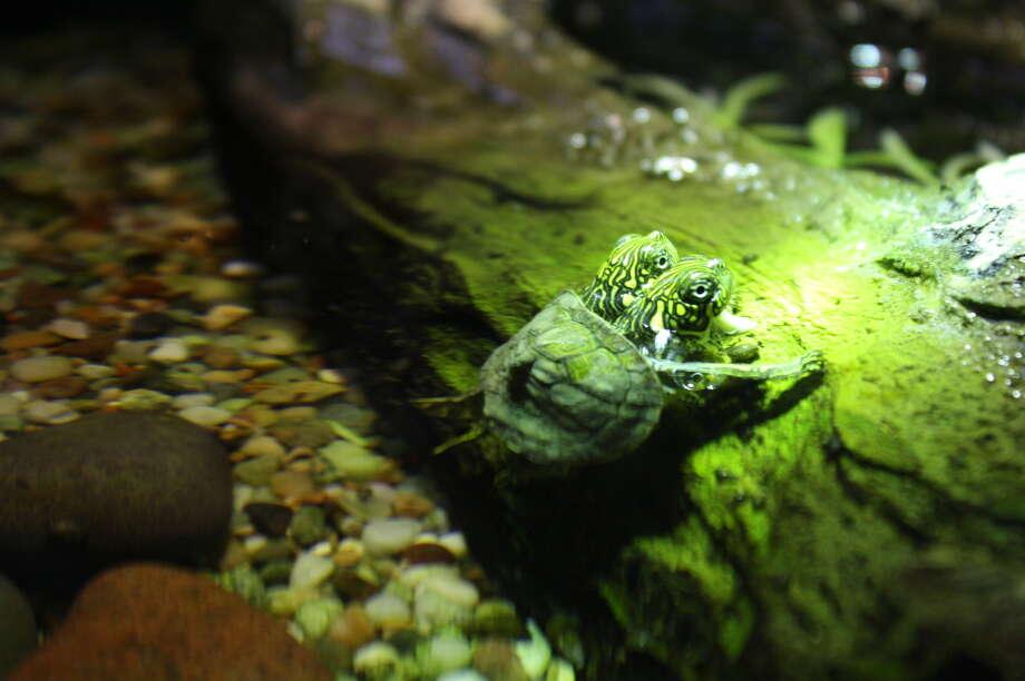 The right head is Thelma. Photo: Courtesy Of The San Antonio Zoo