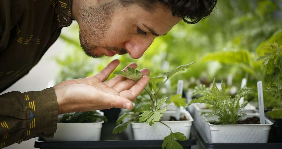 Owner-proprietor Nic Weinstein takes in the aroma from one of the plants in his Homestead Apothecary in Oakland. Photo: Russell Yip, The Chronicle