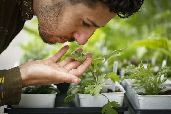 Nic Weinstein, proprietor of Homestead Apothecary, take in the aroma of one of his plants in front of his shop on Monday, June 3, 2014 in Oakland, Calif.