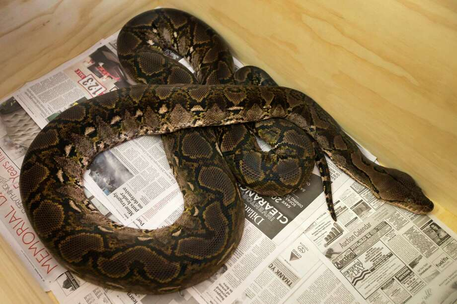 A reticulated python, one of several snakes, confiscated from a home in the Heights is shown on Wednesday, June 18, 2014, in Houston. Harris County constables along with the Houston SPCA seized more than a dozen snakes, said officials from the SPCA. Photo: Brett Coomer, Houston Chronicle / © 2014 Houston Chronicle