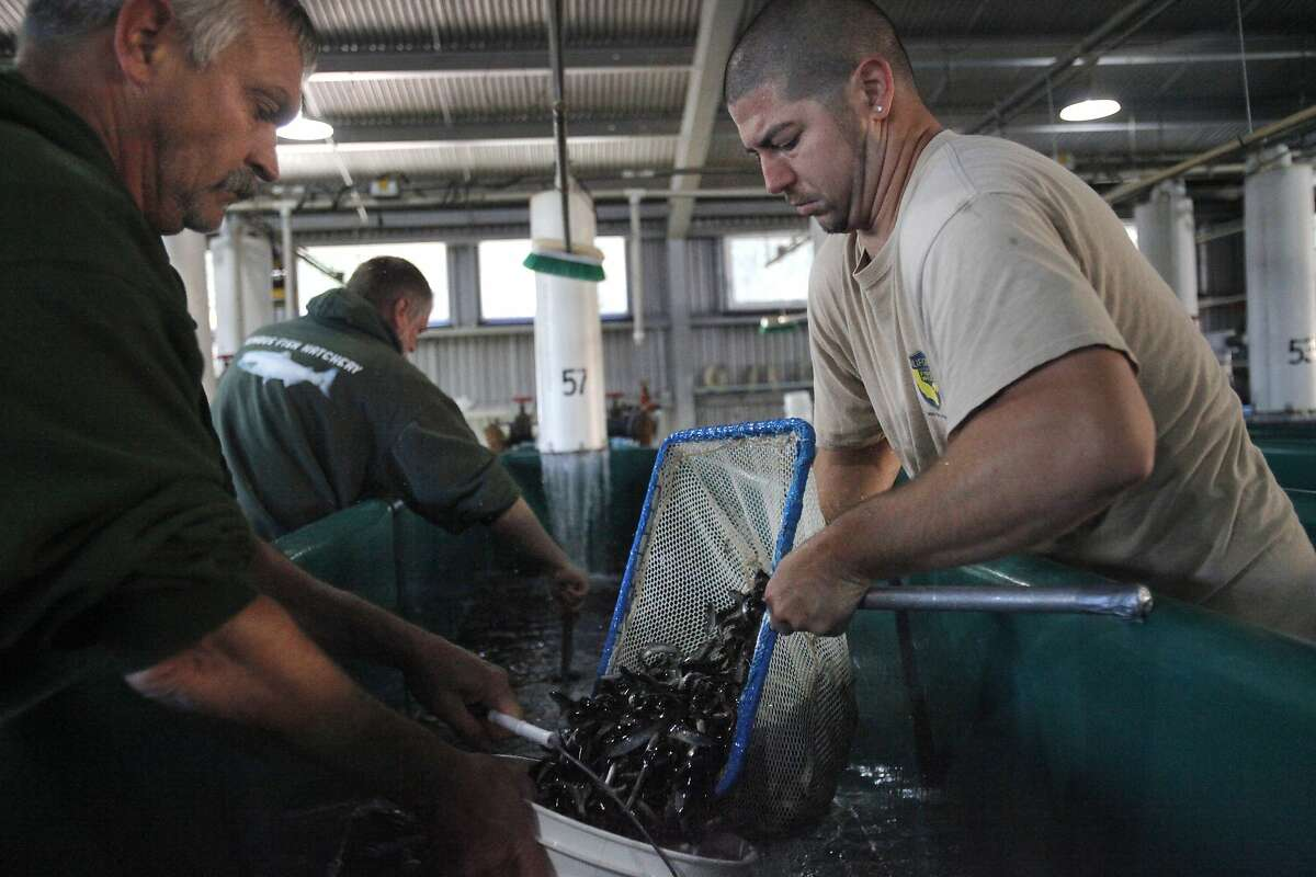 From left, California Fish and Wildlife workers Forrest Stephenson, Gary Novak, and Justin Mather fill up buckets with Steelhead trout from a holding tank at the Nimbus Fish Hatchery to be loaded into a truck for early release June 18, 2014 in Gold River, Calif. The California Department of Fish and Wildlife decided to release the Steelhead trout from the Nimbus Fish Hatchery into the American River about six months early this year due to rising water temperatures. The captured water has been heating up due to the lowering water levels because of the drought. The warmer the water is that the hatchery uses to raise the fish, the worse for the trout, who prefer cooler temperatures.