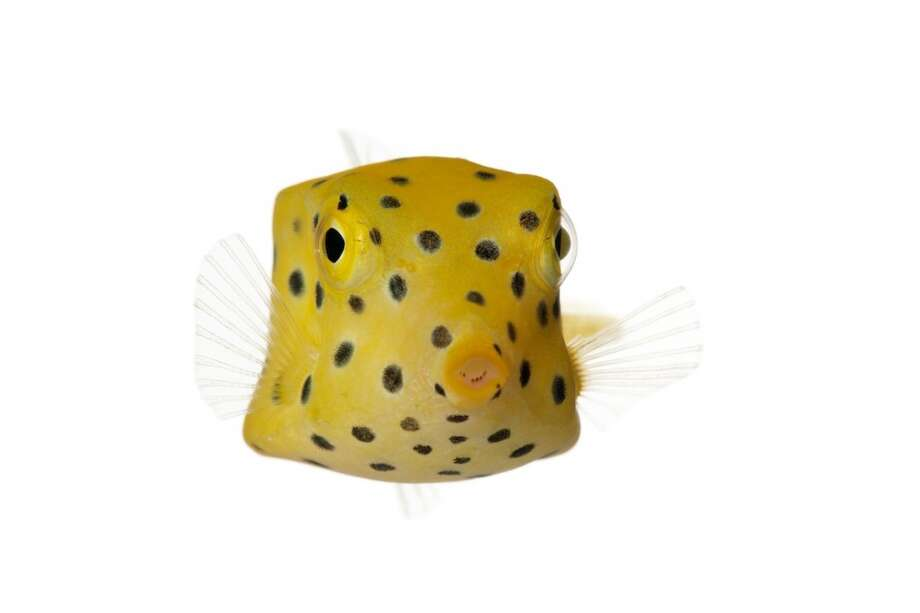 Photographer David Liittschwager's One Cubic Foot  methodology, which captures images of flora and fauna over a set time period within one cubic foot (and then drops out the background), will help the  Tetiaroa Biocode Project create an inventory of all non-microbial life in the atoll's ecosystem. Pictured here: a yellow boxfish, one of at least 167 species seen around Tetiaroa. Photo: David Liittschwager