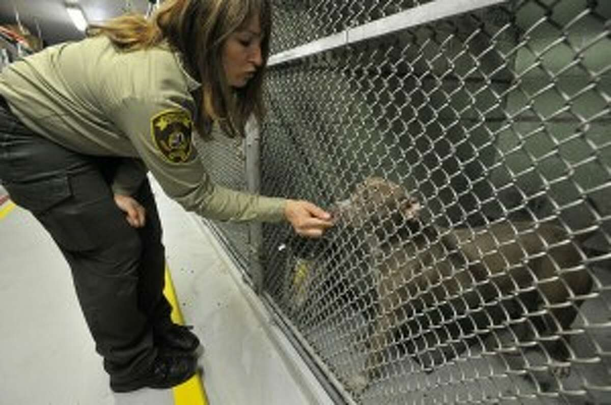 Former director Laurie Hollywood greets one of four Staffordshire Terrier dogs on Monday, March 17, 2014, that were dropped off at the animal care and control shelter in Stamford, Conn. File Photo