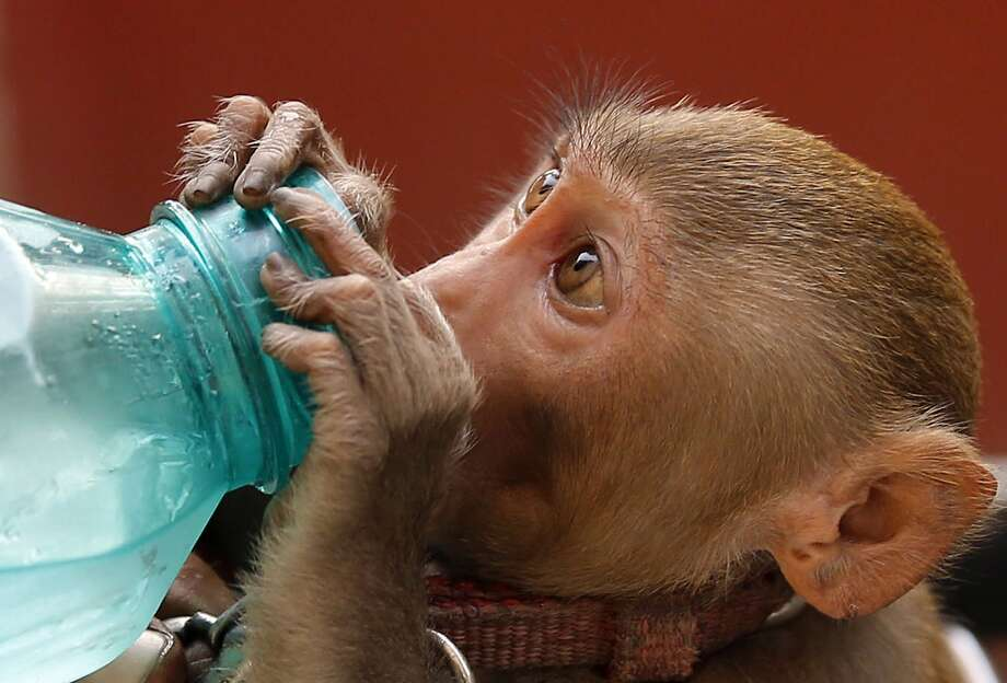 Monkey quench: Rickshaw puller Rajendra Shukla gives his pet monkey a drink on a hot summer day in 