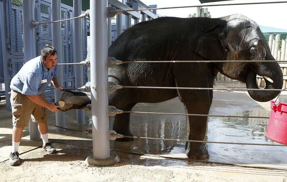 Don't forget to polish the nails:Ian Ross scrubs Baylor's foot during his morning bath at the Houston Zoo. Ross was among several college students taking part in a Collegiate Conservation Program to work with the zoo's   elephants. Photo: Karen Warren, Houston Chronicle