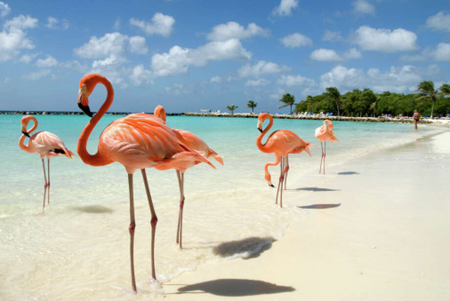 ArubaJoin these flamingos for some beach fun in Aruba with Carnival cruises. Photo: Bert Van Wijk, Getty Images / (c) bert van wijk