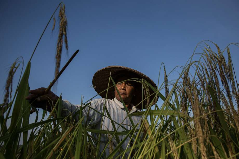 "JATILUWIH, BALI, INDONESIA - JUNE 19:  A farmer cuts stalks of rice using a special knife called ""anggapan"" during harvest season at Jatiluwih on June 19, 2014 in Tabanan, Bali, Indonesia. Industry Officials and analysts are expecting Indonesia to more than double its rice imports to around 1.5 million tons in 2014 from an estimated 700,000 tons imported in 2013 ahead of a general election and El Nino looms on the horizon which could lead into drought and lack of rainfall. Jatiluwih is famous for its well-maintained terraced rice fields and functioning subak traditional irrigation system. UNESCO has recognized it as one of the world's heritage sites. (Photo by Agung Parameswara/Getty Images) *** BESTPIX *** Photo: Agung Parameswara, Getty Images"