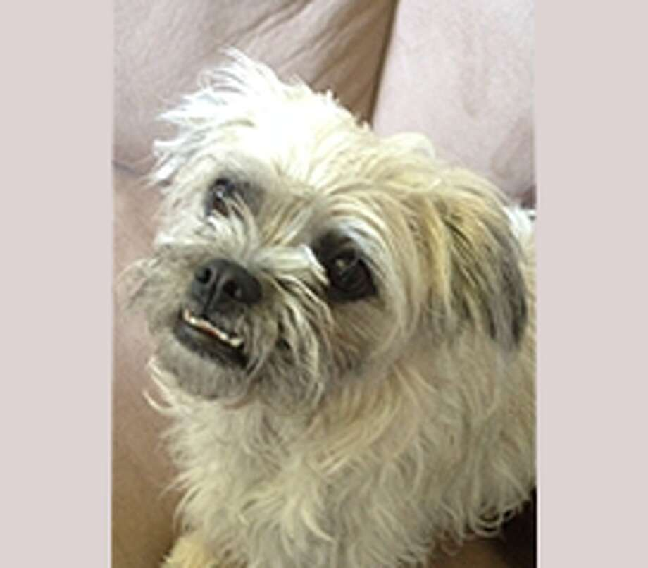 Cupcake is a 1-1/2-year-old Pug/Poodle/Maltese mix.  She loves trotting on her poodle legs and licking people's face with her overbite.