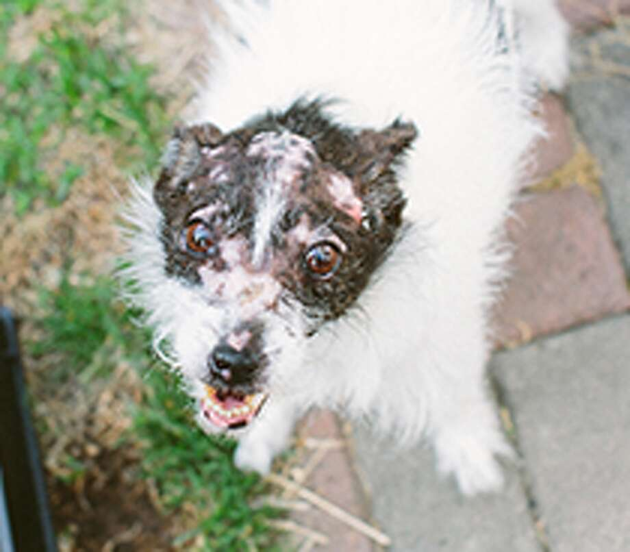 Faith is a 7-year-old Jack Russell Terrier with canine autoimmune disease, pemphigus. She has no hair on her head, ankles or tail (except for a few wispy, white ones on the bottom.)