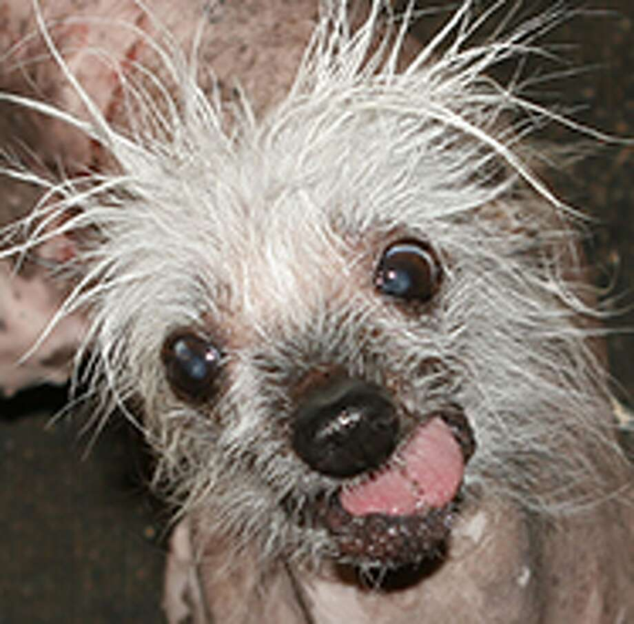Rascal is back for more after winning World's Ugliest Dog in 2002.