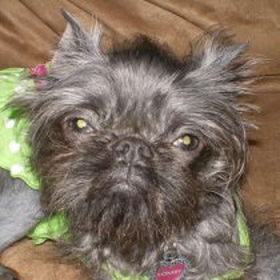 Monkey is a 1 year old Chinese Crested/Brussels Griffon mix.
