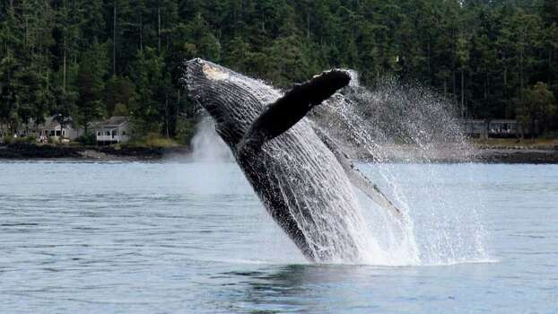 A humpback whale cavorts in the waters of the San Juan Islands. Photo: Tom Averna