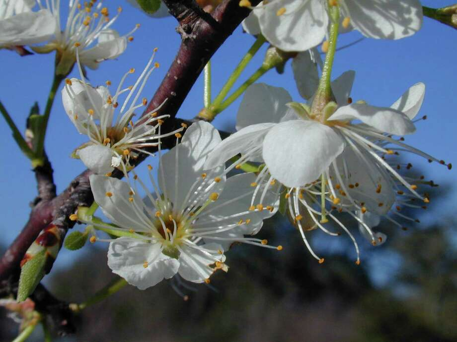 Mexican plum is a rewarding spring-flowering tree for the Houston area. Photo: Joseph Marcus / handout