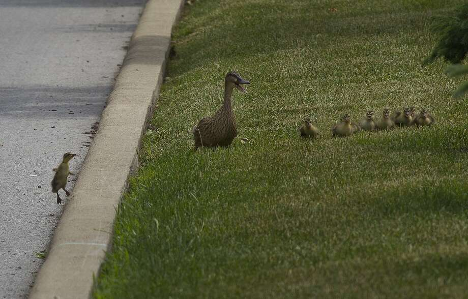 Flap harder! In Lafayette, Ind., a curb exposes the least athletic member of a family of ducks. Photo: Michael Heinz, Associated Press