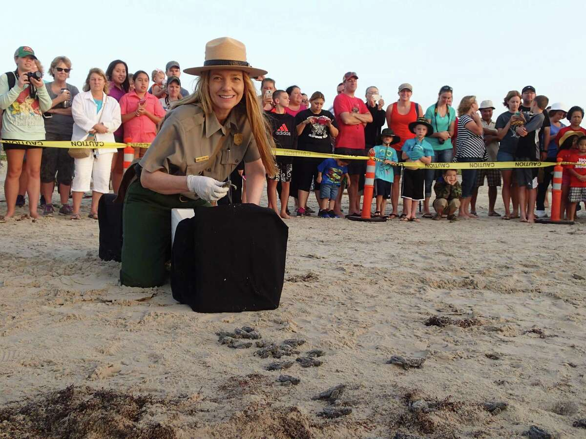 Donna Shaver, chief of the Division of Sea Turtle Science and Recovery at the Padre Island National Seashore, releases Kemp's ridley sea turtles Monday, June 16, 2014. Kemp ridley sea turtles are the rarest of the five sea turtles that visit the Gulf Coast. The babies can't see well after the hatch, so special lighting has been placed on Turtle Drive on South Padre Island.