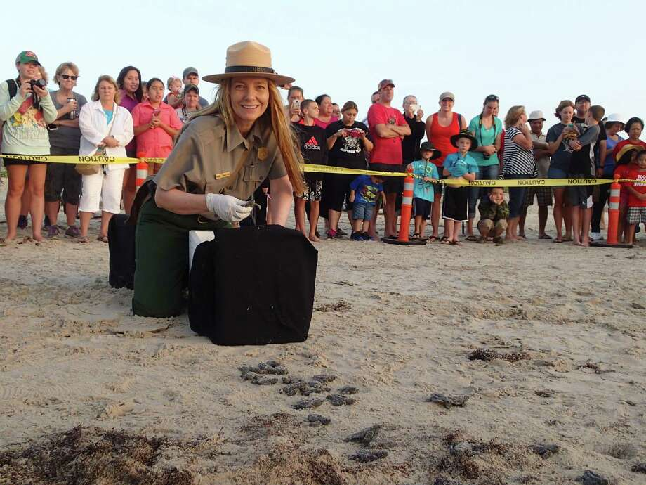 Donna Shaver, chief of the Division of Sea Turtle Science and Recovery at the Padre Island National Seashore, releases Kemp's ridley sea turtles Monday, June 16, 2014. Kemp ridley sea turtles are the rarest of the five sea turtles that visit the Gulf Coast. The babies can't see well after the hatch, so special lighting has been placed on Turtle Drive on South Padre Island. Photo: Courtesy/Division Of Sea Turtle Science And Recovery, Padre Island National Seashore
