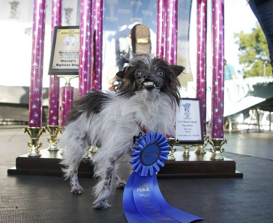Peanut, a two-year-old mutt poses in front of the winning trophies, after winning the World's Ugliest Dog Contest, at the Sonoma-Marin Fair, Friday, June 20, 2014, in Petaluma, Calif. Peanut is from North Carolina. Photo: George Nikitin, Associated Press