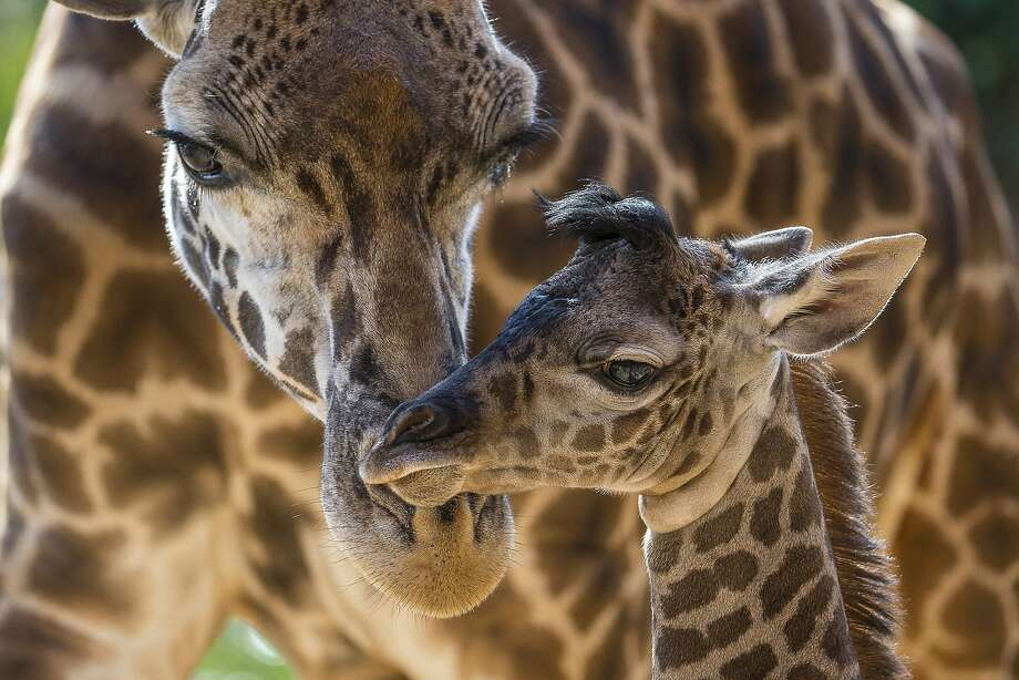 In this image provided by the San Diego Zoo, Harriet, a Masai giraffe, attends to her four-day-old calf at the San Diego Zoo. The male was born on June 16, standing 6 feet 2 inches tall and weighing 146 lbs. This is Harriet's second calf; the little one's father is Silver, the herd's sire. Giraffe populations have decreased from approximately 140,000 in the late 1990s to less than 80,000 because of habitat loss and competition with livestock for resources. Photo: Ken Bohn, Associated Press