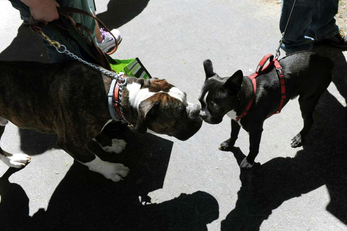 Louie, an American bulldog, left, and Casey, a Boston terrier, greet each other during the Paws in the Park Walk and Community Day on Saturday, June 21, 2014, at Siena College in Loudonville, N.Y. The fundraiser benefits the Mohawk Hudson Humane Society. (Cindy Schultz / Times Union)