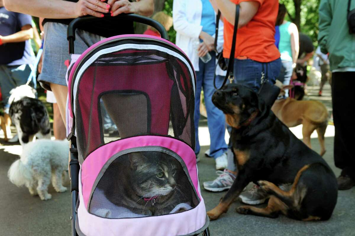 A lone, brave feline, named Princess, safely mixes with the canines during the Paws in the Park Walk and Community Day on Saturday, June 21, 2014, at Siena College in Loudonville, N.Y. The fundraiser benefits the Mohawk Hudson Humane Society. (Cindy Schultz / Times Union)