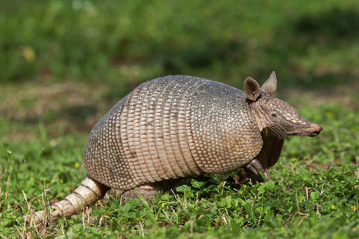 A is for Armadillo These armor-plated creatures are so popular throughout the state, they became Texas' official small mammal.