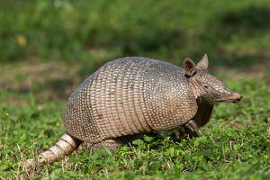 East Texas man hospitalized after bullet ricochets off armadillo - Photo