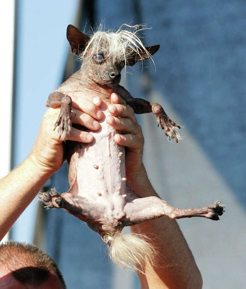 SweePee Rambo, a Chihuahua/Chinese Crested mix, is held by the owner, during World's Ugliest Dog Contest, at the Sonoma-Marin Fair, Friday, June 20, 2014, in Petaluma, Calif. (AP Photo/George Nikitin) Photo: George Nikitin, FRE / FR57659 AP