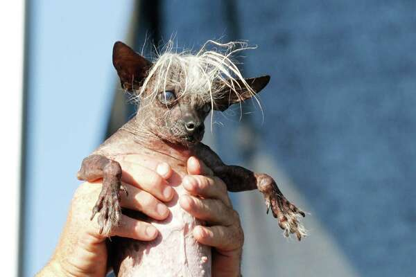 SweePee Rambo, a Chihuahua/Chinese Crested mix, is held by the owner, during World's Ugliest Dog Contest, at the Sonoma-Marin Fair, Friday, June 20, 2014, in Petaluma, Calif. (AP Photo/George Nikitin)