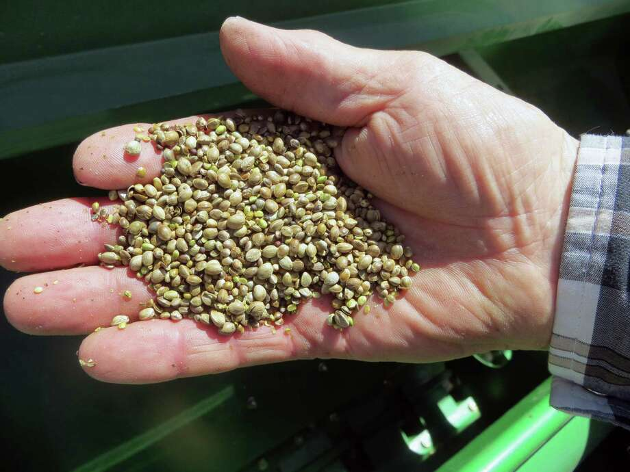 FILE - In this May 19, 2014 file photo, a farmer holds a handful of hemp seeds, on a day of planting in Sterling, Colo. Some 350 pounds of industrial hemp seeds bound from Canada to Colorado have been seized by federal authorities in North Dakota. The seeds have been held since Saturday, June 15. Hemp activist Tom McClain said that he was carrying seven bags full of seeds of a type of industrial hemp known as X-59 or Hemp Nut. Photo: Kristen Wyatt, AP  / AP2014