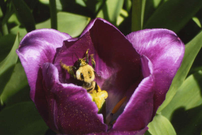 This bee was in the tulips in Albany's Washington Park and couldn't get out, Carol Lezatte of Glenmo