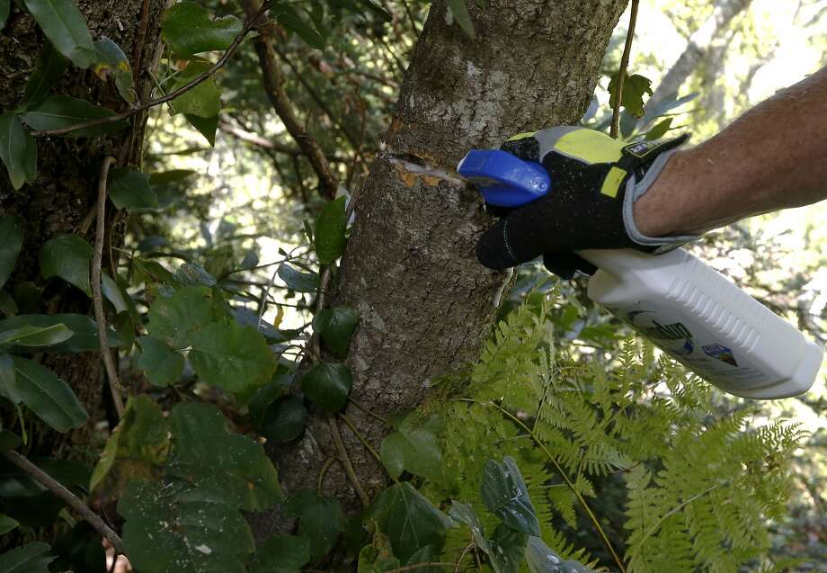 Butch Kronlund, president of the Coastlands mutual water company on Tuesday June 17, 2014, sprays a liquid into the trunk of a diseased California Bay Laurel tree to kill it. It's one of seven trees that tested positive for Sudden Oak Death that were found in the Coastlands neighborhood in Big Sur, Calif. Matteo Garbeletto, Ph.D., Director of U.C. Berkeley Forest Pathology and Mycology Laboratory, believes the dry conditions from this year's drought is actually helpful in the fight against the tree killing pathogen known as Sudden Oak Death. Photo: Michael Macor, The Chronicle