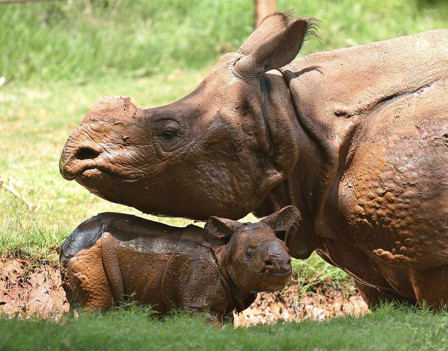 A newborn Indian rhinoceros, bottom, stands with his mother, Niki, top, in a mud wallow at the Oklahoma City Zoo in Oklahoma City, Sunday, June 22, 2014. The as yet unnamed rhino was born at 5:20 pm at the zoo on June 21, 2014. The male calf is the fourth Indian rhino born at the Zoo since the Zoo added the species in 1981, but the first offspring for seven-year-old Niki. (AP Photo/Sue Ogrocki) Photo: Sue Ogrocki, Associated Press