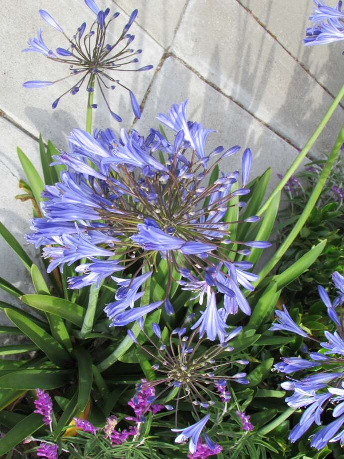 Agapanthus in bloom in front garden Photo: Will Hearst