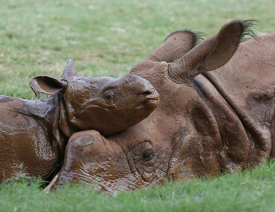 Baby's first wallow: A day-old newborn Indian rhinoceros rests his head on his mother's while cooling off in the mud at the Oklahoma City Zoo. The male calf is 7-year-old Niki's first. Photo: Sue Ogrocki, Associated Press