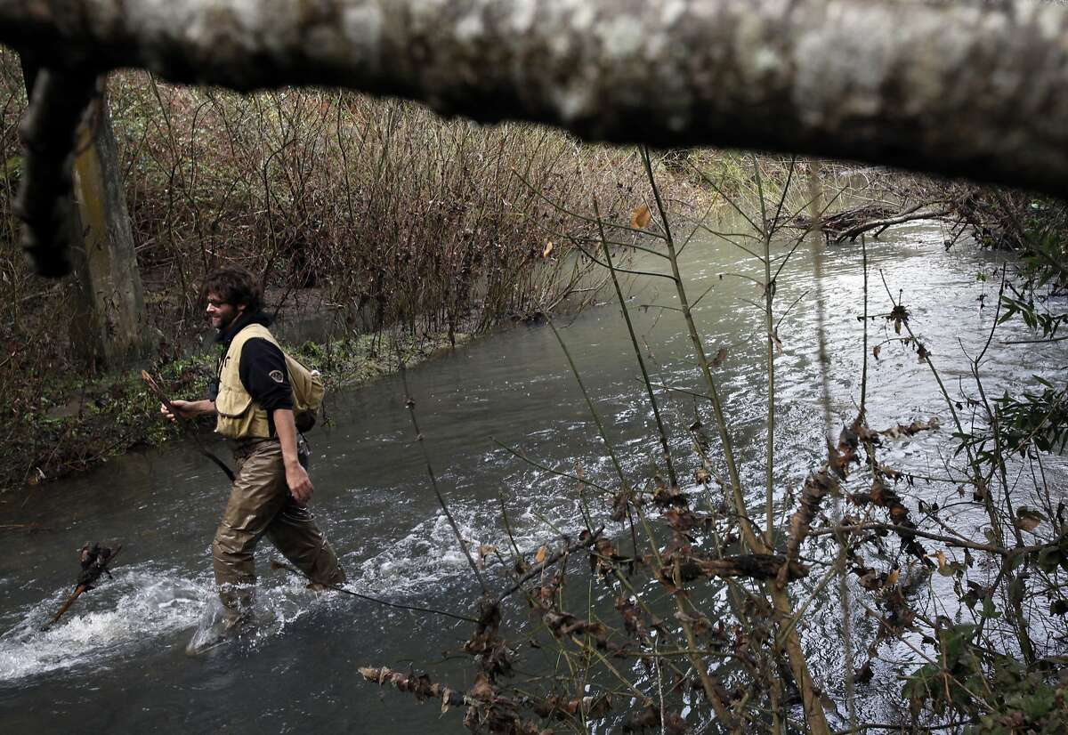 Ben Schleifer, an intern with the Marin Municipal Water District, wades in the Lagunitas Creek Thursday morning to do the yearly coho salmon count in Lagunitas, Calif., Thursday, January 26, 2012. The endangered fish's numbers are finally showing an increase after declining steadily since 2004.