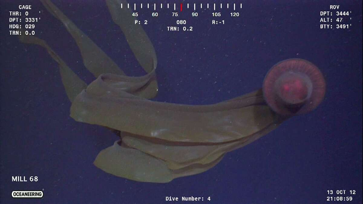 An undersea robot working for an oil company in the Gulf of Mexico took this image of a Stygiomedusa gigantea, one of the world s largest jellyfish, which had not been seen previously in the Gulf. Some offshore oil companies use their subsea remotely operated vehicles to search of sea life under a program called Scientific and Environmental ROV Partnership using Existing Industrial Technology -- SERPENT. (Photo courtesy Gulf SERPENT/Louisiana State University)