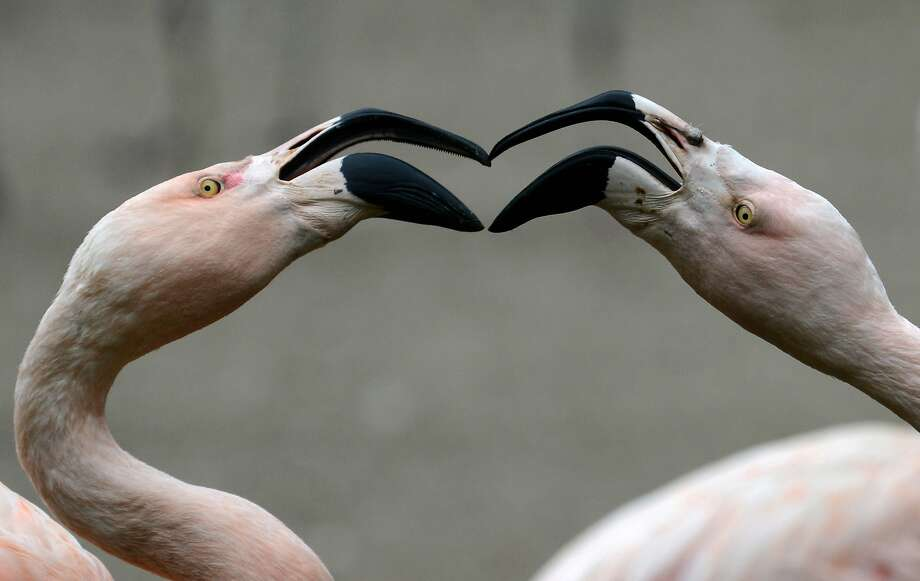 Kiss me, you fool: Flamingos rub bills at the Prague Zoo. Photo: Michal Cizek, AFP/Getty Images