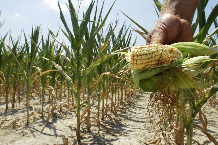 A farmer in Illinois shows corn damaged by drought. A new report by a nonpartisan panel says that higher temperatures are projected to drastically reduce Midwest crop yields. Photo: Seth Perlman, Associated Press