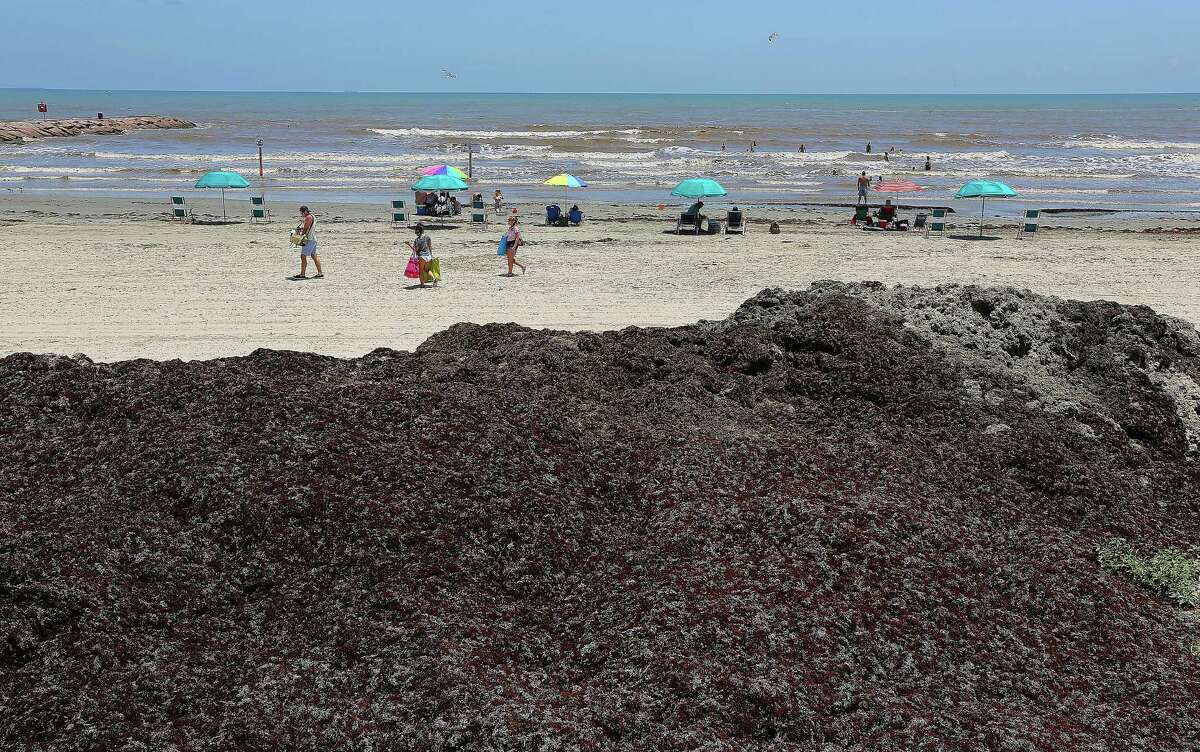 Mounds of seaweed on the beaches along Seawall Boulevard Wednesday, June 11, 2014, in Galveston.