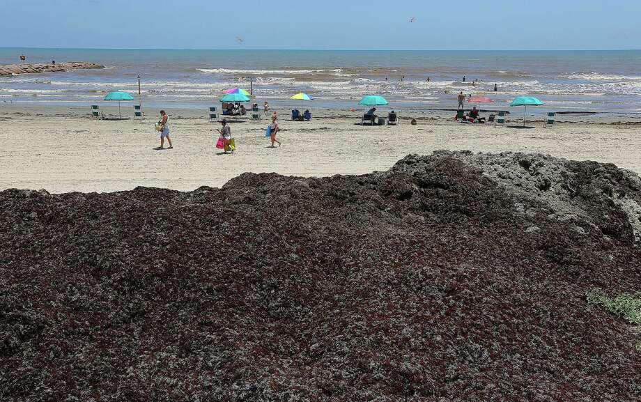 Mounds of seaweed on the beaches along Seawall Boulevard Wednesday, June 11, 2014, in Galveston. Photo: James Nielsen, Houston Chronicle / © 2014  Houston Chronicle