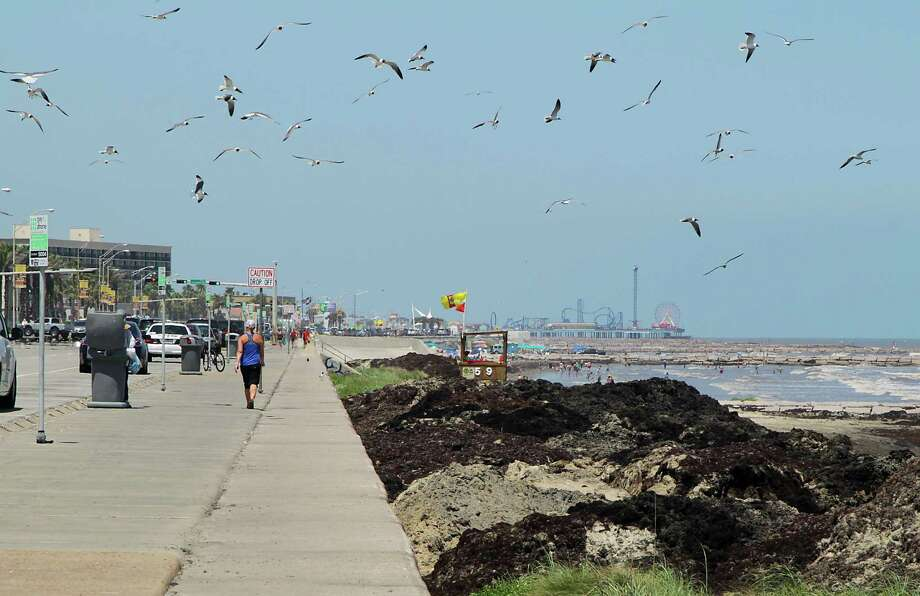 Seagulls fly over mounds of seaweed on the beaches along Seawall Boulevard Wednesday, June 11, 2014, in Galveston. Photo: James Nielsen, Houston Chronicle / © 2014  Houston Chronicle