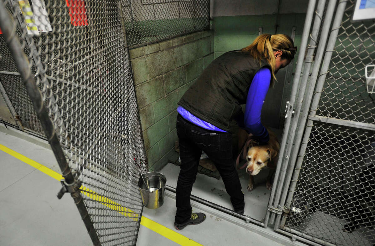A volunteer a dog back into his pen after giving him an exercise break outside the Stamford Animal Shelter in Stamford, Conn., on Thursday, Nov.14, 2013.