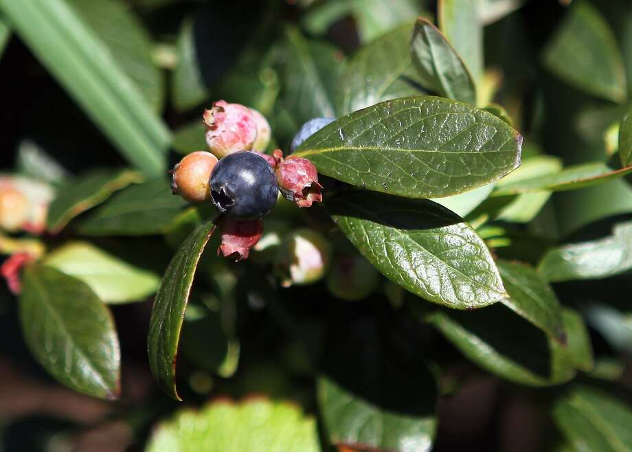 Blueberries grow in the Garden at AT&T Park, beyond center field. Photo: Suzanna Mitchell