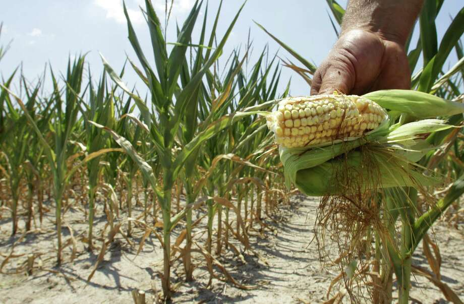 "Drought-affected Illinois corn in 2012. ""Risky Business"" predicts Midwestern crop disaster if climate change continues. Photo: Associated Press File Photo / AP"