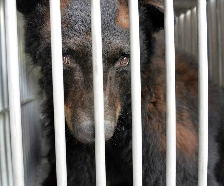 A three-year-old captive born black bear, one of six bears rescued by Rock to the Rescue and Lions, Tigers, and Bears of Alpine, Calif., from Adirondack Family Zoo Tuesday June 24, 2014, in Greenwich, NY.  (John Carl D'Annibale / Times Union) Photo: John Carl D'Annibale / 00027497A