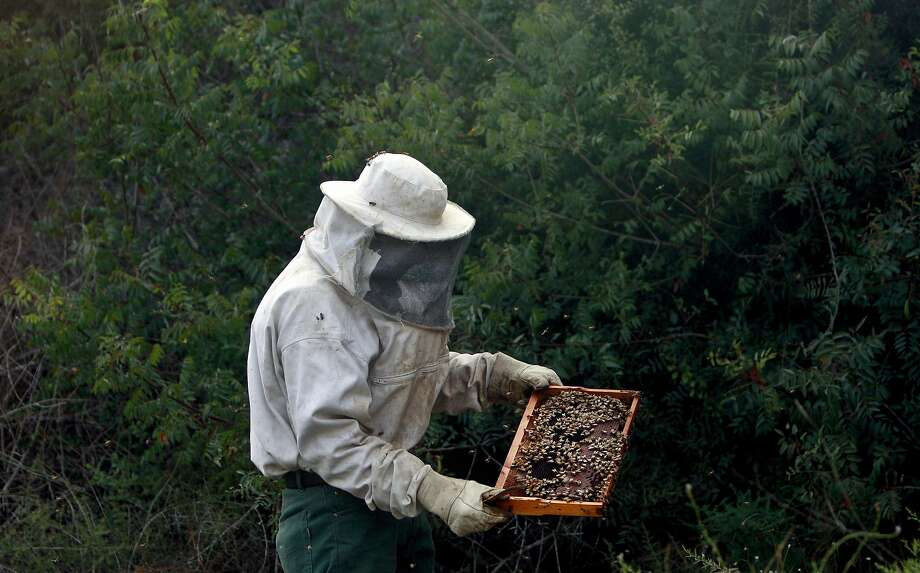 Palestinian 50-year-old beekeeper Saed Barari lifts a honey comb from a beehive during the honey harvest in the West Bank village of Zabdah near Jenin city, Tuesday, June 24, 2014. (AP Photo/Mohammed Ballas) Photo: Mohammed Ballas, Associated Press