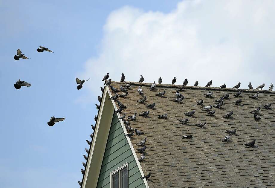 A large flock of pigeons perch on the roof of a home on Post Oak Dr in Haw River, N.C. on Tuesday, June 24, 2014. (AP Photo/Burlington Times-News, Scott Muthersbaugh) Photo: Scott Muthersbaugh, Associated Press