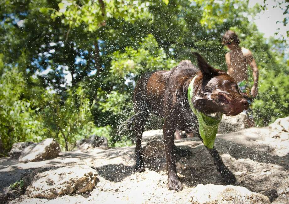 Rhasta, shakes off the refreshing Barton Spring Pool water after fetching a ball for owner Meg Coleman, 27, in Austin, recently voted the nation's most dog-friendly city. Jarrad Henderson/AUSTIN AMERICAN-STATESMAN