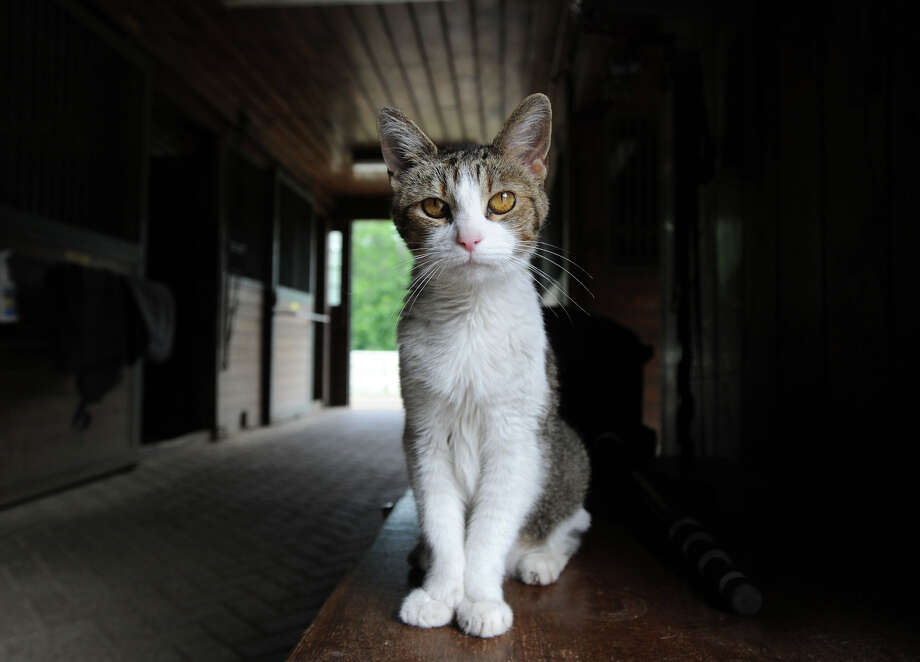A barn cat on the 25.3 acre property that is for sale with an asking price of $13,900,000 at 50 Lafrentz Rd., Greenwich, Conn., Wednesday, June 25, 2014. Photo: Bob Luckey / Greenwich Time